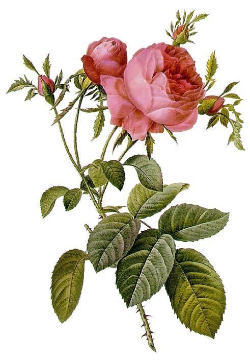Rosa_centifolia_foliacea_17.jpg